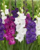 Gladiolus Cumsuis, Gladiolus White Heaven, Gladiolus Blue Wave