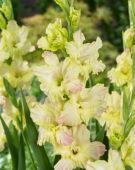 Gladiolus Alicia