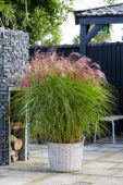 Miscanthus sinensis Red Cloud ®