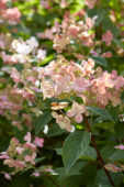 Hydrangea paniculata Early Sensation