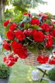 Begonia Giant Pendula Scarlet