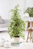 Ficus benjamina Twilight ®
