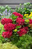 Hydrangea macrophylla red