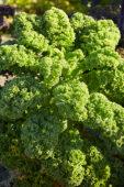 Brassica oleracea, boerenkool