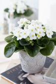 Saintpaulia white
