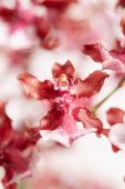 Oncidium Cherry Baby