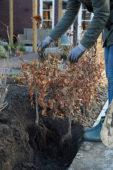 Planting a Fagus sylvatica hedge