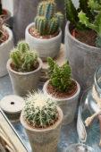 Echinocactus, Opuntia, Isolatocereus