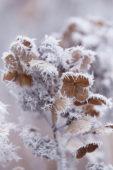 Hydrangea macrophylla Early Sensation