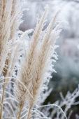 Cortaderia selloana Evita