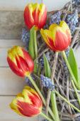 Tulipa Denmark, Muscari