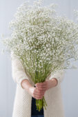 Bunch of Gypsophila flowers