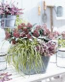 Carex EverColor® Everoro