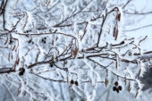 Alnus glutinosa in winter