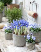 Iris histrioides Lady Beatrix Stanley