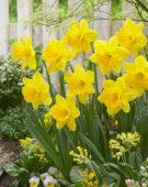 Narcissus Gigantic Star