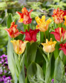 Tulipa Flaming Crown