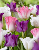Tulipa Crown of Dynasty, Negrita Picture, White Liberstar