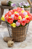 Tulipa kleurenmix