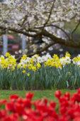 Narcissus border
