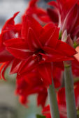 Hippeastrum Double Delicious