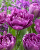 Tulipa Blue Spectacle