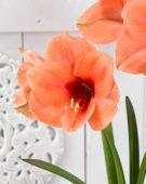 Hippeastrum Bouquet