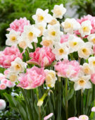 Narcissus Sweet Smiles, Tulipa Crispion Sweet