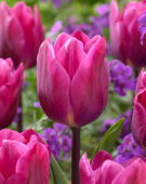Tulipa Anna Paulowna