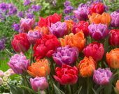 Tulipa double mixed