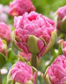 Tulipa dubbel roze