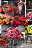 Begonia collectie