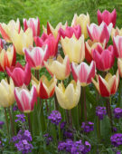 Tulipa Surprise mix