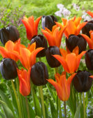 Tulipa Ballerina, Queen of Night