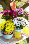 Osteospermum Sunny® collection