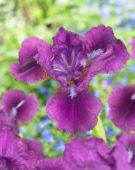 Iris pumila Nambe