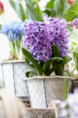 Hyacinthus on pot