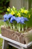 Voorjaarsbloemen in houten kistje