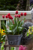 Tulipa on pot