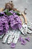 Hyacinthus flowers