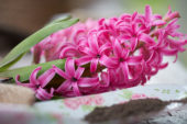 Hyacinthus bloemen