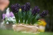 Hyacinthus op pot