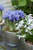 Iris on pot