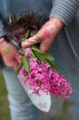 Hyacinthus bollen