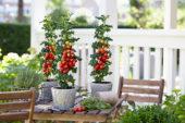 Solanum lycopersicum Farmzy