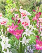 Gladiolus nanus mix