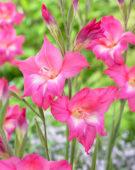 Gladiolus tubergenii Charm