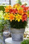 Lilium Orange Joy, Golden Joy, Festive Joy