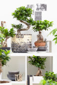 Ficus Ginseng collectie