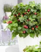 Rubus idaeus BonBonBerries